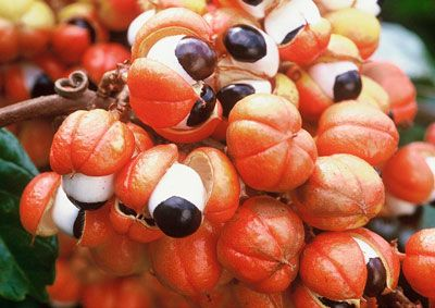 Guarana seeds on Amazon cruise of the Motor Yacht Tucano