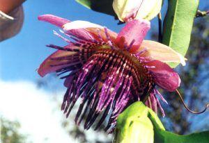 Passion flower on Amazon cruise of the Motor Yacht Tucano