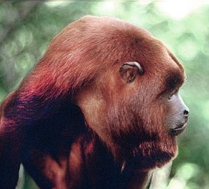 Red Howler Monkey on Amazon cruise of the Motor Yacht Tucano