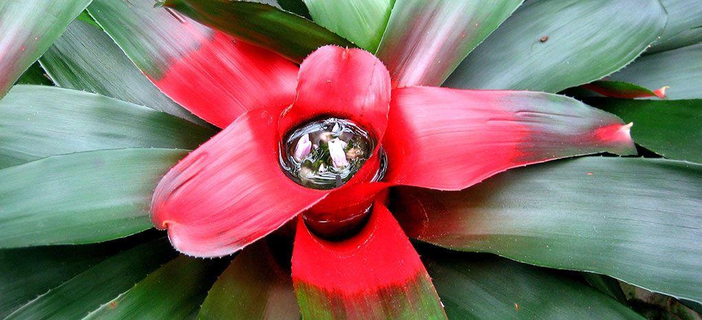 Amazon Bromeliad