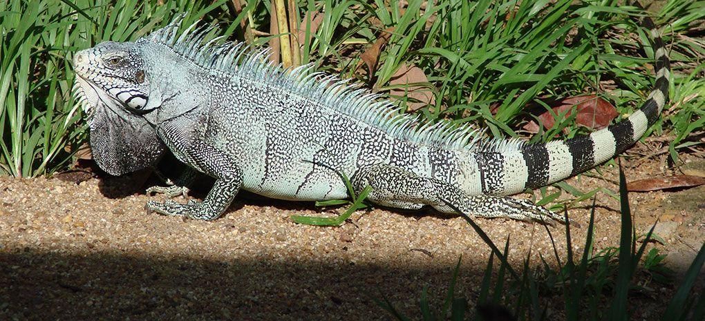 IguanaIguana