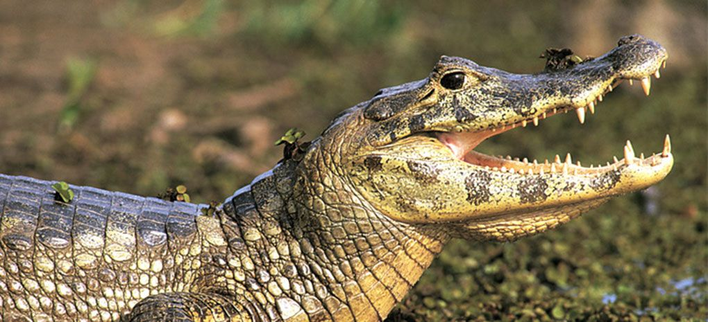 Amazon Crocodile with Mouth Open, Seen on M/Y Tucano Cruise & Expedition