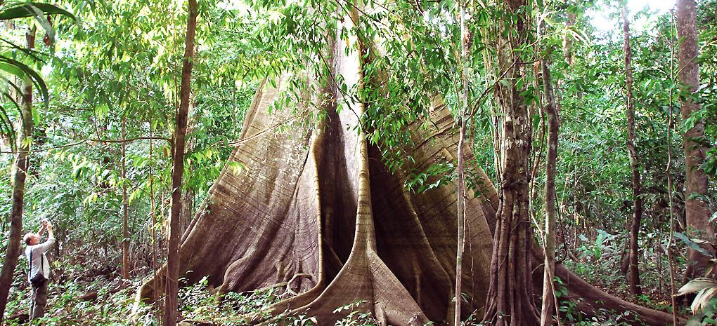 Imbauba Grande base seen on a Amazon Rainforest Tour