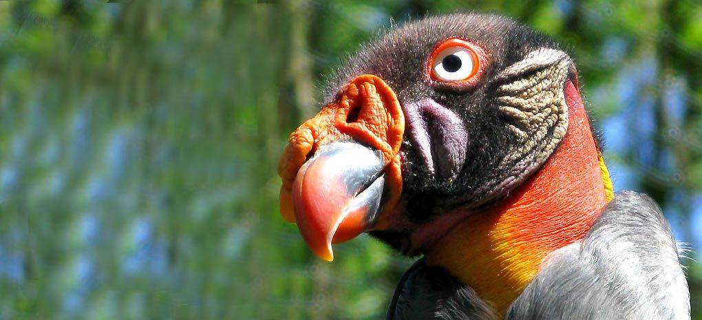 King Vulture Spotted on an Amazon River & Rainforest Cruise