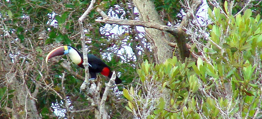 White Throated Toucan on MY Tucano Amazon River Cruise and Rainforest Expedition Tour