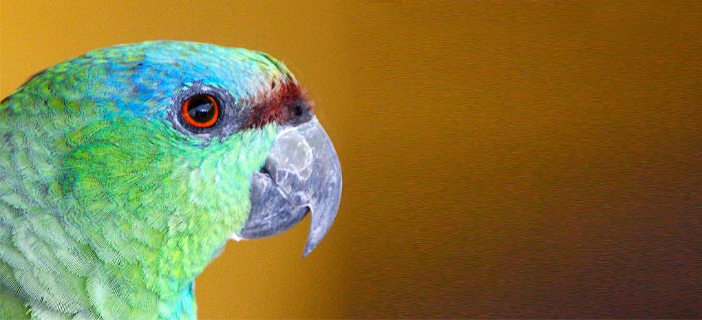 Papagaio Tropical Bird on Amazon River Cruise and Rainforest Expedition Tour
