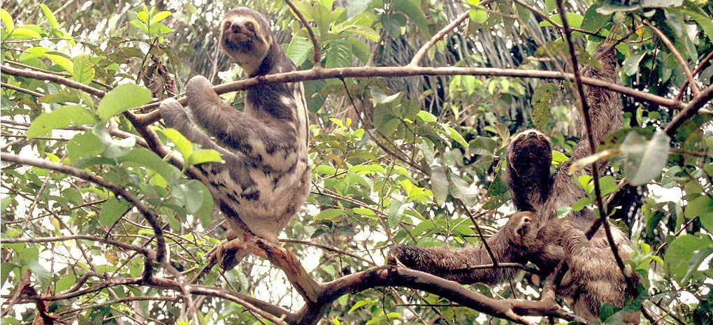 Three Toed Sloth on Amazon River Cruise and Rainforest Expedition Tour