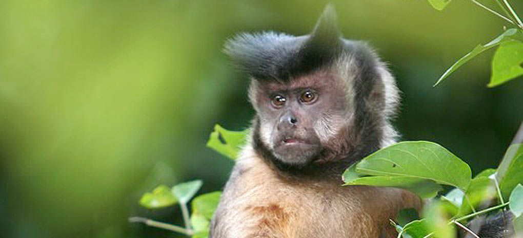 Amzaon Rainforest Capuchin seen on Expedition