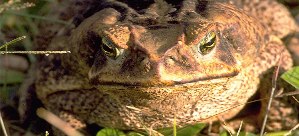 Bufo Marinus, Large Frog on Amazon Rainforest Tour