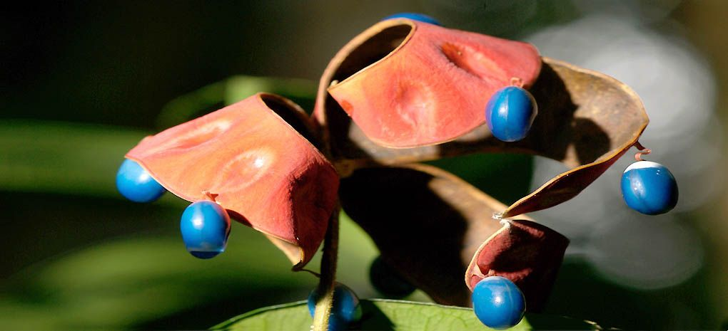 Exotic Amazon plant - red leaves and blue berries