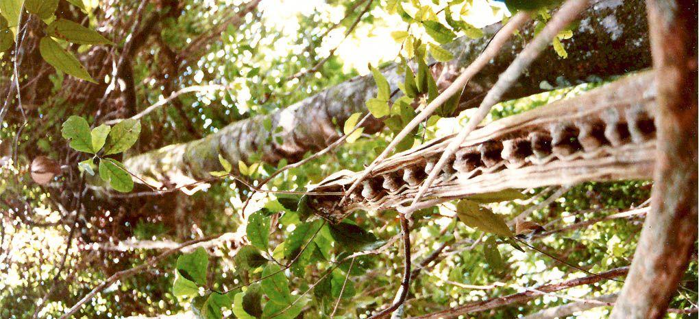 Jacobs Ladder Vine in the Amazon Rainforest
